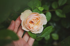 Salmon pink rose Royalty Free Stock Image