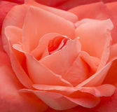 Salmon Pink Rose. Beautiful close up photo of a blooming salmon pink rose in a garden Stock Photography