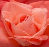 Salmon Pink Rose Stock Photography