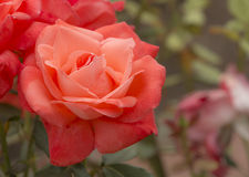 Salmon Pink Rose. Beautiful photo of a blooming salmon pink rose in a garden Royalty Free Stock Photos