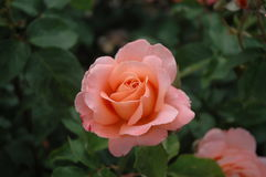 Salmon pink rose. With dark green leaves Royalty Free Stock Images