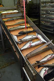 Salmon production line. Production line in the fishing processing plant royalty free stock images