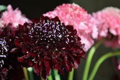 Salmon Queen Black Pompom Black Knight pincushion flower bouquet black background royalty free stock images