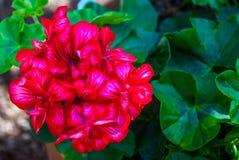 Salmon red pelargonium flowers closeup. or Pelargonium zonale stock photos