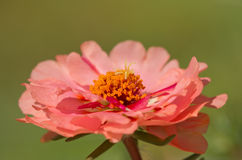 Salmon red Portulaca flower Stock Images