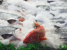 Salmon and rockfish Stock Images