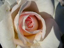 Salmon rose Royalty Free Stock Images