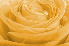 Salmon rose petals as background Stock Images