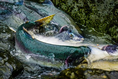 Salmon Run Royalty Free Stock Photo