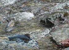 Salmon run Stock Photos