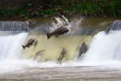 Salmon run. In October in Canada Stock Images