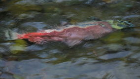 Salmon Sockeye After Spawning stock video footage