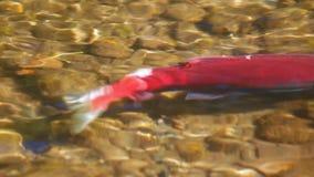Salmon Sockeye stock video footage