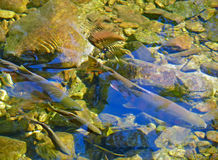 Salmon on Spawing 2. The  masu (chrry) salmon (Oncorhynchus masou) in water of small river during a spawing. September. Russian Far East, Primorye Stock Photo