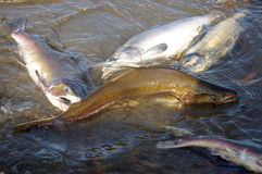 Salmon spawning Royalty Free Stock Photos