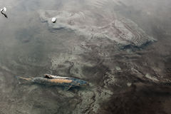 Salmon during the spawning period Stock Image