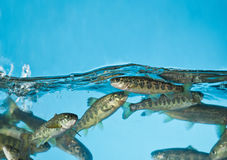 Salmon swimming in aquarium Royalty Free Stock Photo