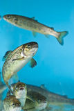 Salmon swimming in aquarium Stock Images