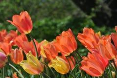 Salmon tulipans. Garden full of beautiful pink salmon tulipans stock images