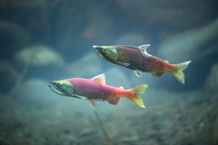 Salmon underwater Royalty Free Stock Photography