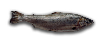 Salmon on white background Royalty Free Stock Image
