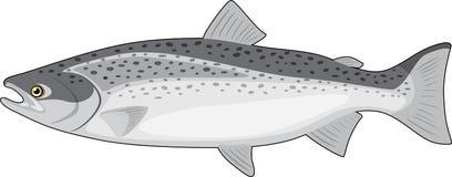 Salmon  on the white Stock Photo