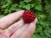 Salmonberry из Seward, Аляски стоковое фото