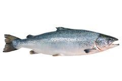 Salmone atlantico Immagine Stock Libera da Diritti