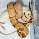Salmone di imperator del boa constrictor che mangia un ratto fotografie stock libere da diritti