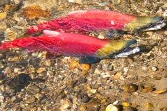 Salmone rosso che depone uova, Columbia Britannica, Canada fotografia stock