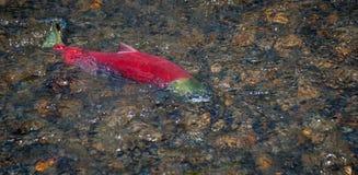 Salmone rosso - migrazione fotografia stock libera da diritti