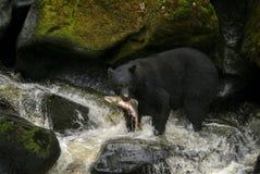 Salmones de Alaska de la caza del oso negro en un río foto de archivo