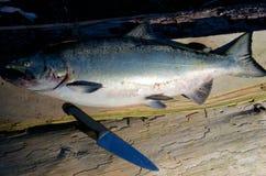 Salmones de Chinook en un tablón en el sol de la mañana, Nuchatlitz, A.C. Fotos de archivo