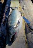 Salmones de Chinook grandes en un registro, ser limpiado alrededor imagenes de archivo