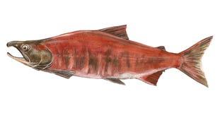 Salmones de los pescados Foto de archivo libre de regalías