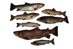 Salmones de los pescados Fotografía de archivo