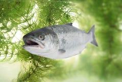 Salmones grandes Foto de archivo