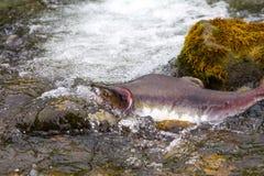Salmones jorobados Fotos de archivo