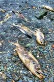 Salmones muertos Fotografía de archivo