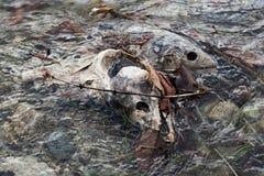 Salmones muertos Imágenes de archivo libres de regalías