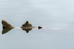 Salmones muertos Imagen de archivo