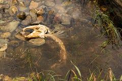 Salmones muertos Imagen de archivo libre de regalías