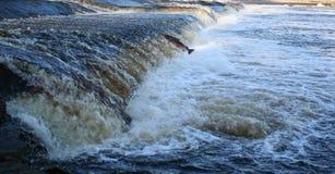 Salmones únicos de Stong Fotos de archivo
