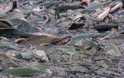 Salmones rosados apilados para arriba en el criadero más wier en Solomon Gulch foto de archivo libre de regalías