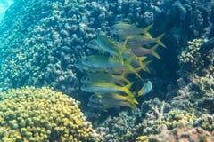 Salmonete do atum amarelo Imagem de Stock