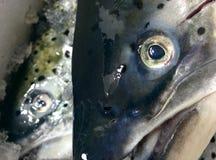 salmonfish Fotografia Stock Libera da Diritti
