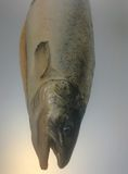 salmonfish Fotografia Stock