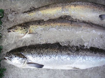 Salmoni allevati azienda agricola Fotografie Stock