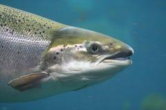 Salmoni atlantici Fotografie Stock