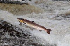 Salmoni atlantici di salto Fotografia Stock
